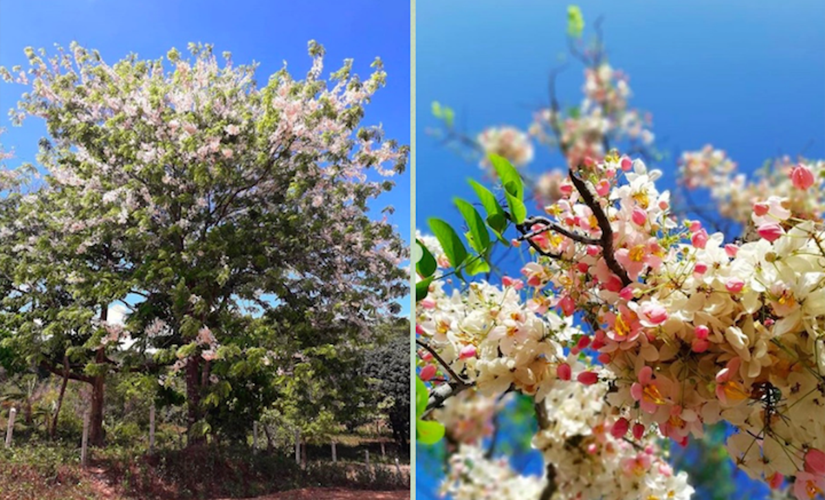You Can Get Your Own Cherry Blossom Photos At These Spots In The Philippines When In Manila
