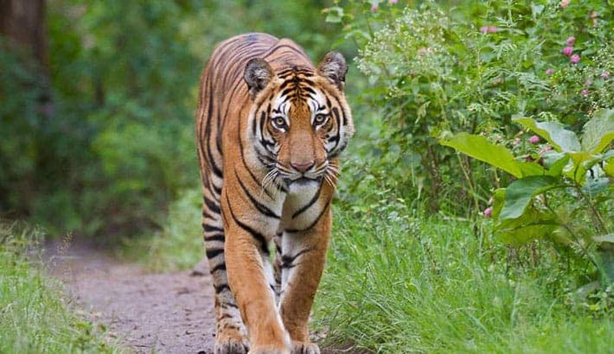 Just a handful of tiger subspecies remain in the wild -- here they are