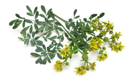 Properties Of Rue The Magic Plant
