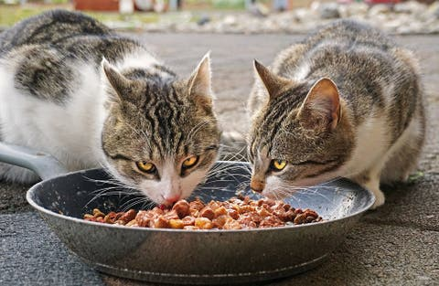 Descubre los alimentos prohibidos para gatos