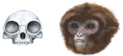 Un Mono Catalán Extinto Da Pistas Sobre La Evolución De Los