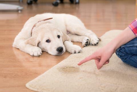 Risultato immagini per cane pipi casa