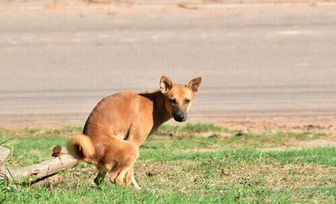 Em diarréia cães e dor pernas nas