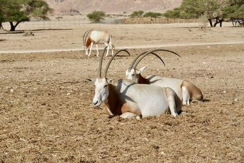 Cimitarra Oryx