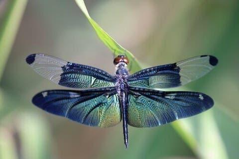 Metamorfose da libélula: saiba mais sobre este processo