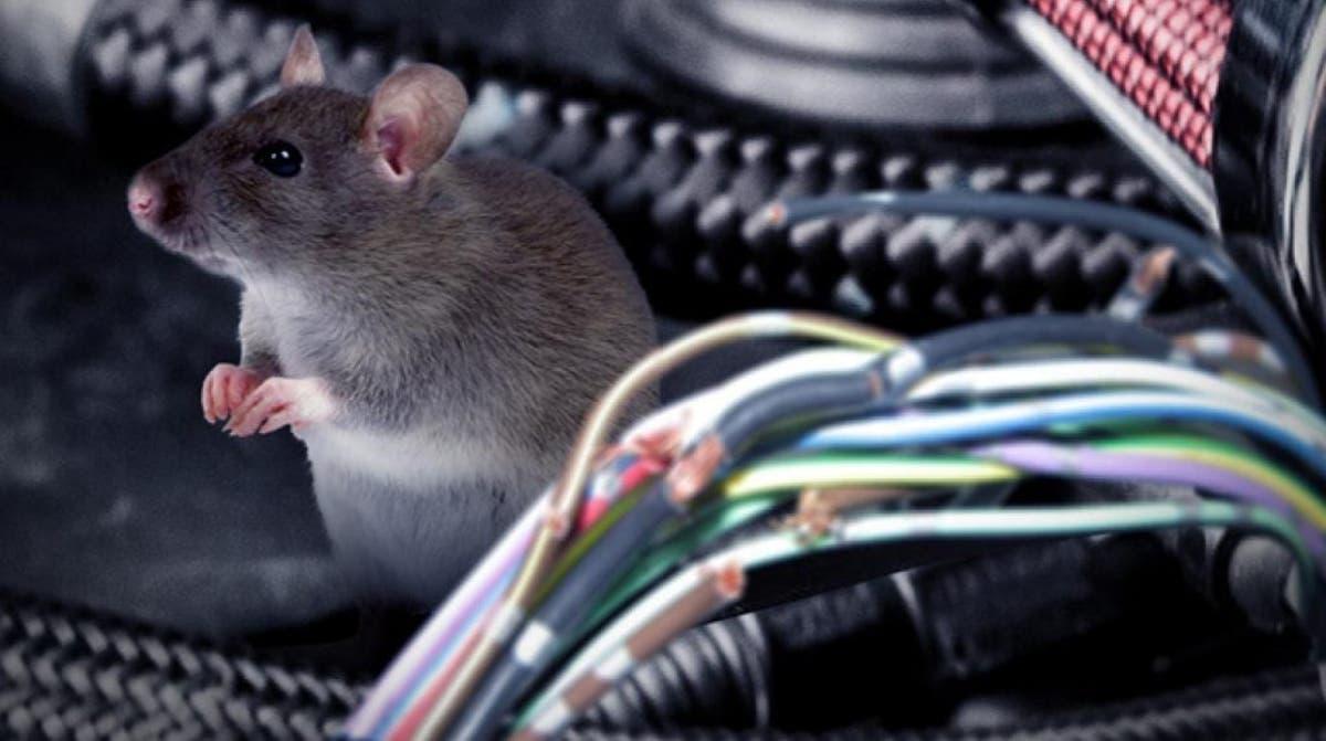 Datos básicos sobre las ratas